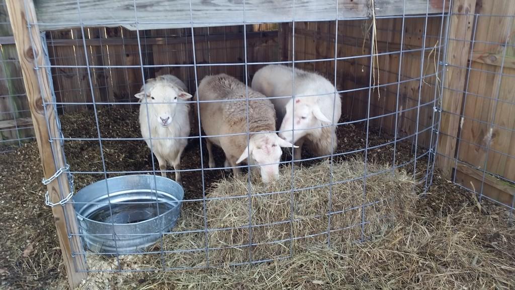 Ram flock - 12/26/14